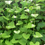 Garlic Mustard picture in the Gorge